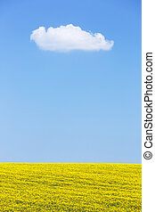 Extensive field of rapeseed with blue sky in the background....