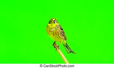 Yellowhammer (Emberiza citrinella) isolated green screen