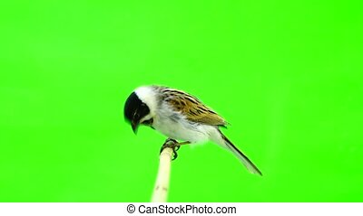 reed bunting ( Emberiza schoeni lus) isolated green screen