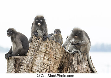 flock of dusky leaf monkey family relax sitting on tree...
