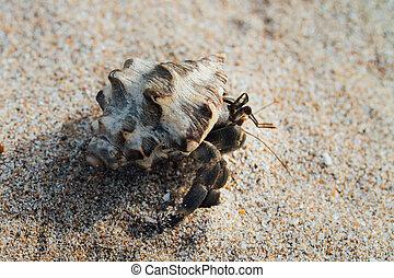 Cancer hermit crab Walks the sand. Macro. - Cancer hermit...