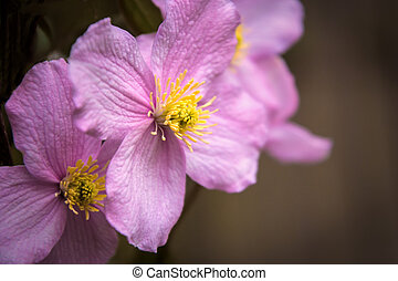 Clematis - Close up of a clematis flower