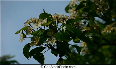 blossoming tree, beautiful real video, nature flowers, pinch tree, apple tree, pear tree,