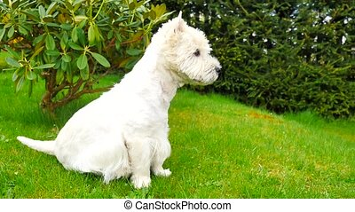 West Highland White Terrier sitting on the fresh green grass...