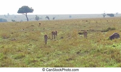 cheetahs and hyena in savanna at africa - animal, nature and...