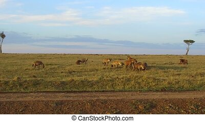 clan of hyenas eating in savanna at africa - animal, nature...