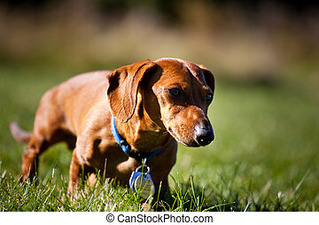 Miniature Dachshund in the grass - A miniature Dachshund as...