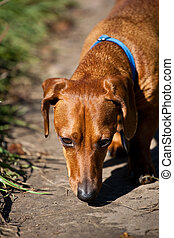 Closeup of miniature Dachshund on path sniffing - A closeup...