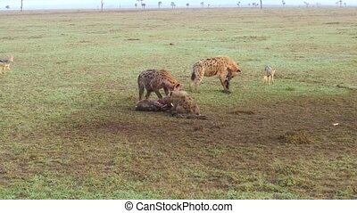 hyenas eating carrion and jackals at africa - animal, nature...