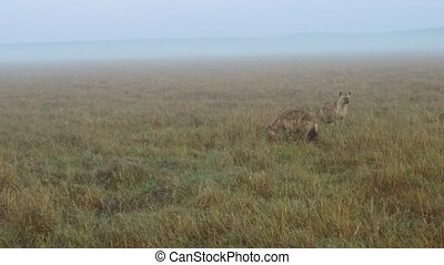hyenas in savanna at africa - animal, nature and wildlife...