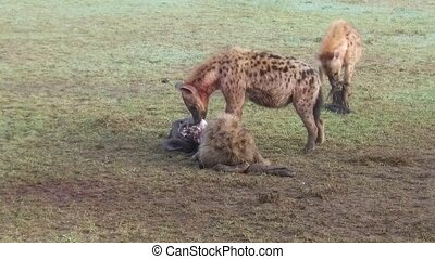hyenas eating carrion and jackals at africa