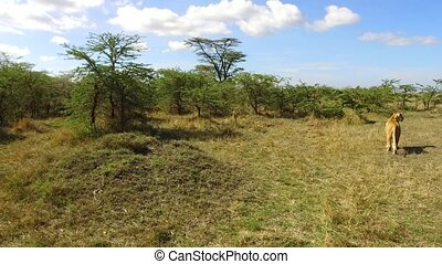 lioness hunting in savanna at africa - animal, nature and...