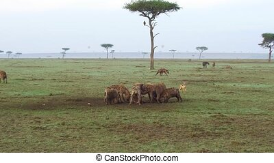 clan of hyenas eating carrion in savanna at africa