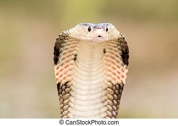 Lebensräume,  Thailand, Kobra, natürlich, schlange