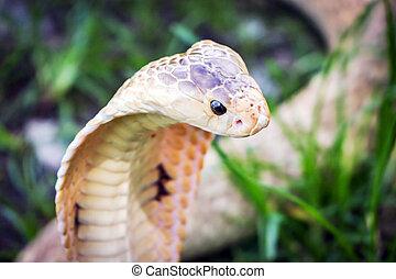 Kobra, schlange