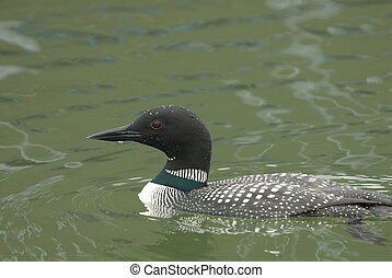 Common Loon - The common loon is an uncommon visitor on...