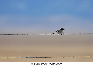 The Shrike - A shrike sits patiently on a barbed wire fence...