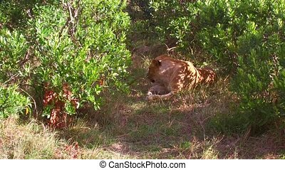 lioness resting in savanna woods at africa - animal, nature...