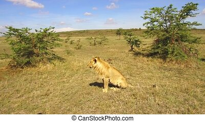 young lion hunting in savanna at africa - animal, nature and...