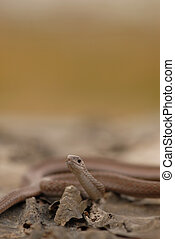 Midland Brown Snake - This small, harmless brown snake is...