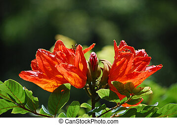 African Tuliptree Flowering - Flowering orange African...
