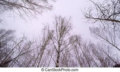Russian winter - Birch Grove. April Birch Grove. Black and...