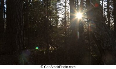 Walking in pine forest - Dim forest walking with flaring...