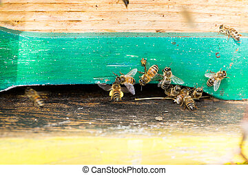 Bee with pollen that enter in the hive. Rural life,...
