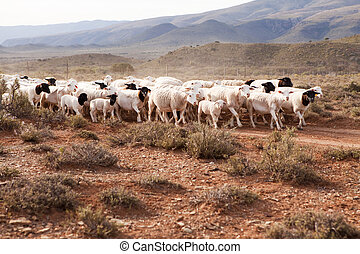 Flock of sheep walking down gravel road in arid landscape
