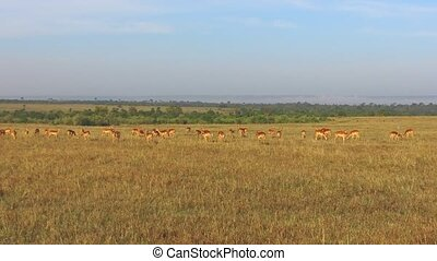 impala or antelopes grazing in savanna at africa - animal,...