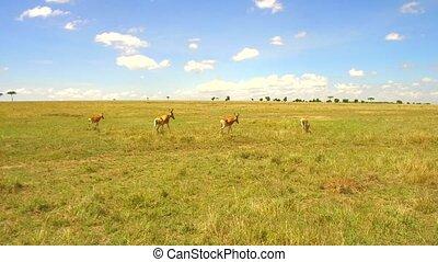 gazelles or antelopes grazing in savanna at africa - animal,...