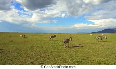 zebras grazing in savanna at africa - animal, nature, safari...