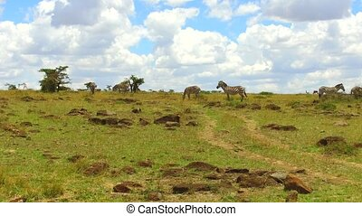 zebras grazing in savanna at africa