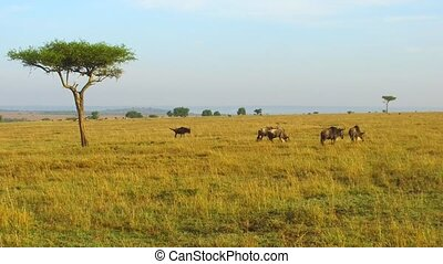 wildebeests grazing in savanna at africa - animal, nature...