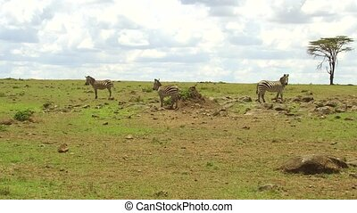 zebras grazing in savanna at africa - animal, nature and...