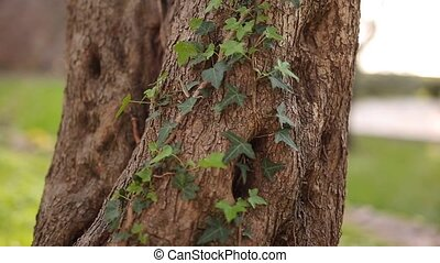 Close-up of the trunk of a tree of olives. Olive groves and...