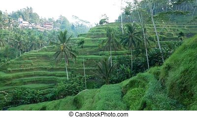 Rice Terrace field. Ubud. Bali. Indonesia. - Tourist Rice...