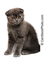 lop-eared kitten - gray lop-eared kitten isolated on white...