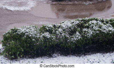Abnormal weather. Snow goes no green Bushes in April at...