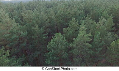 Ecological beautiful pine forest. View from aerial.