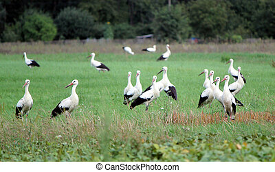 Migrating storks standing in a field - Several black and...