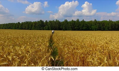 Man riding bicycle by the ripe rye field