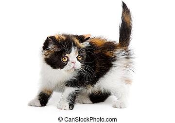 Tortoiseshell persian cat