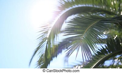 A branch of a palm tree close-up. Date tree in Montenegro.