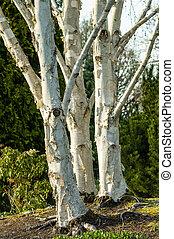 Clump of white birch in a landscape - White or paper birch...
