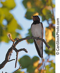 bird, swallow - swallow perched on a tree