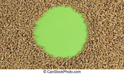 Rotation of the wheat grains lying on a green screen, chroma key.