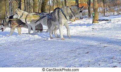 Siberian Husky resting in snow after race. Sled dogs husky...