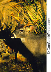 Coues Deer Buck - a nice coues whitetail buck