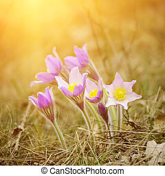 Pasque-flower in nature - Pasque-flower growing in nature on...